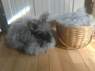 Angora rabbit next to basket of rabbit hair
